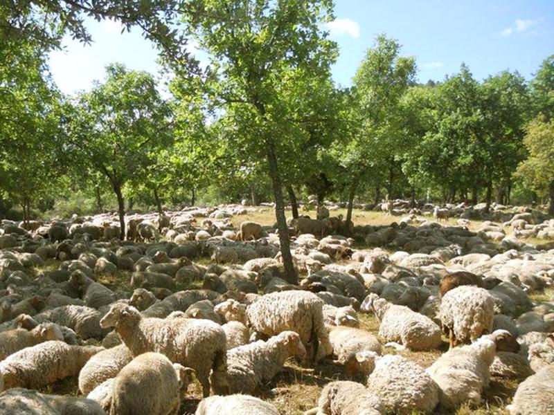 Pastoralisme dans les Maures